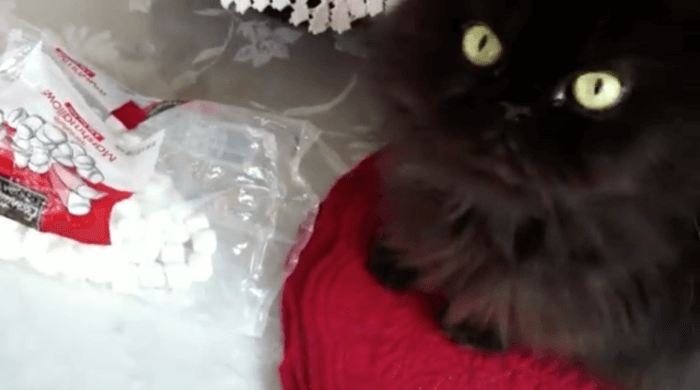 Valentine the Cat with Marshmallows