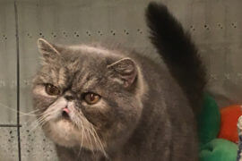 CFA's NW Regional Cat Show 2017: A Spectator's Remarks