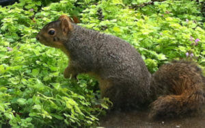 Squirrel by Groundcover