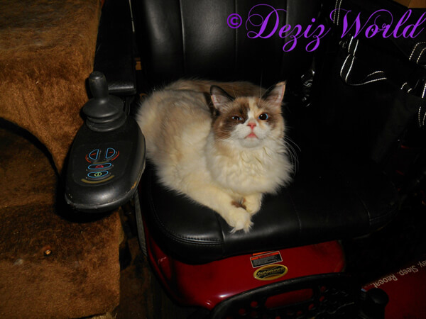 Raena Service Kitty In Wheelchair