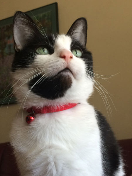 Singing Cats Ariane in red collar