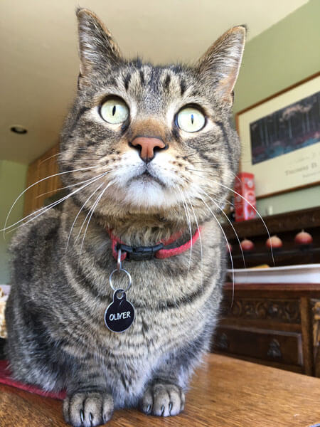 Singing Cats Oliver the Tabby