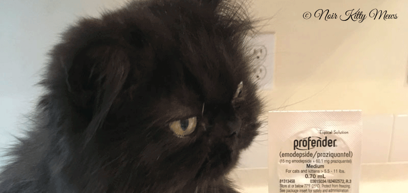 Valentine Cat Looks at Cat Dewormer Packaging