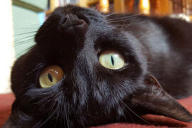 National Black Cat Appreciation Day: Perfect Plethora of Panthers