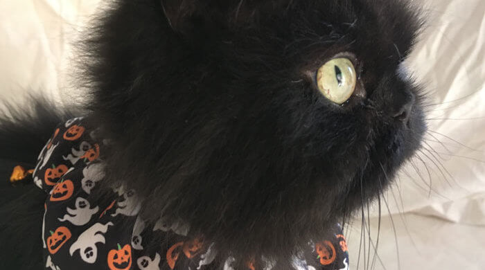 Valentine Cat Wears Halloween Collar