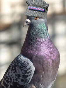 Feathers ExPress Pigeon